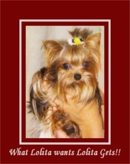 Yorkshire Terrier Puppies for Sale | Yorkmont Yorkshire ...